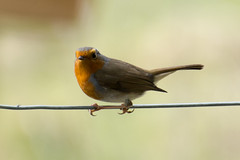 redbreast bird robin