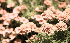 soft (Dotsy McCurly) Tags: soft focus flowers nature beautiful dof bokeh nikon d750 nj