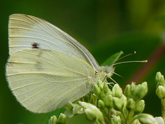 Cabbage White (Dendroica cerulea) Tags: summer butterfly newjersey nj insects lepidoptera highlandpark arthropoda invertebrate pieris pierisrapae insecta cabbagewhite pieridae pierinae hexapoda papilionoidea middlesexcounty highlandparkmeadows