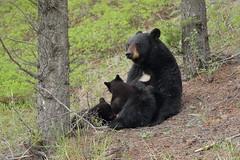 Baring her bear chest (Hammerchewer) Tags: bear outdoor wildlife yellowstone cubs sow blackbear
