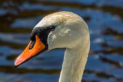 Mute Swan, head (pss_foto) Tags: portrait swan