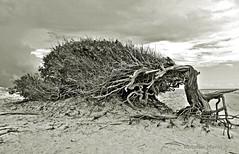 rvore da Preguia (Antonio Marin Jr) Tags: blackandwhite tree pb rvore pretoebranco rvoredapreguia antoniomarinjr rvoreempb