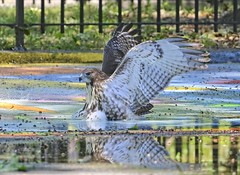 Playing in a puddle (Goggla) Tags: nyc new york manhattan east village tompkins square park urban wildlife bird raptor red tail hawk fledgling juvenile sprinkler puddle bath goglog