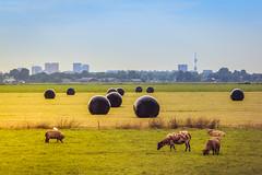 Farm in the city (tommyferraz) Tags: city amsterdam de skyscrapers farm sheeps amstel aan oudekerk bijlmer