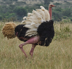 Male Ostrich (paulinuk99999 - tripods are for wimps :)) Tags: paulinuk99999 nairobinationalpark kenya ostrich male female mating dance ritual full plumage sal70400g