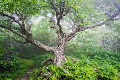 Guardian of the Forest (Xavier Ascanio) Tags: appalachian blueridgeparkway landscape nc tree beech eerie fog forest landscapephotography magic mountain nature northcarolina outdoors spooky springtime trees mysterious craggy gardens pinnacle trail