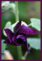 AH62_8173 (der_andyrandy) Tags: blumen blte garten macro makro outdoor rose regentropfen amazingamazing thisphotorocks wow canoneos7d