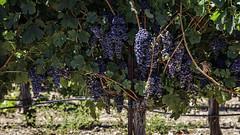 Random Dry Creek Grapes (lennycarl08) Tags: grapes vineyard sonomacounty california