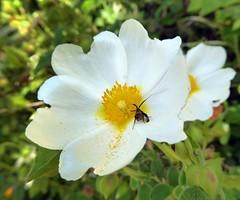 una piccola Nemophora (fotomie2009) Tags: nemophora cisto white cistus salvifolius wild nature moth falena flower fiore flora
