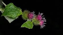 Thistles E8060351_09 (tony.rummery) Tags: closeup em10 flower mft macro microfourthirds omd olympus thistle albury england unitedkingdom gb
