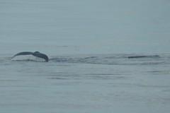2016-07-22 S9 JB 102628b#co2ER (cosplay shooter) Tags: humpback humbackwhale buckelwal wal norwegen norway polarkreis nordpolarkreis nordkap northcape arcticcircle x201608 100a norge