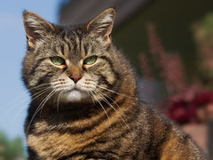 Never trust a Monday ! (FocusPocus Photography) Tags: pet animal cat garden chat gato katze cleo garten haustier tier