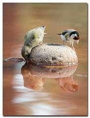 Piquituerto y Cadernera (Carpinet.) Tags: naturaleza bird primavera nature animal arbol agua ave reflejo wildanimal pajaro rama tordo posado posadero cadernera piquituerto