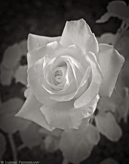 Rose Glow (mjardeen) Tags: sony a 70400mm 456 g ssm ii sonya70400mm456gssmii seattle wa washington woodlandparkzoo zoo park woodland workshop outdoor pattern texture bw black white blackandwhite ir infrared converted conversion lifepixel 720nm rose plant flower nature extensiontube