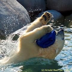 ijsberen_26 (Arnold Beettjer) Tags: wildlands emmen dierenpark dierentuin dierenparkemmen ijsbeer ijsberen polarbear