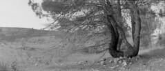 Culla nulla (VALERIA MORRONE  ) Tags: bw italy kodak horizon bn southern pietre panoramica valeria sassi albero pino puglia rami culla apulia bw400cn morrone tentacoli pigne
