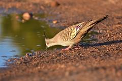 Having a drink (Luke6876) Tags: crestedpigeon pigeon bird animal wildlife australianwildlife