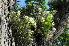 Brassavola nodosa in situ @ Panama City (#Panama) Tags: brassavolanodosa brassavola orquidceas orchidaceae orqudeaspanameas orquidea orquideas orchid tropical tropicalflora tropicalflower tropic explored exploreflickr exploredflickr