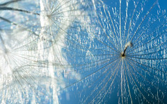 Parasol (Karen McQuilkin) Tags: parasol umbrella bluesky sunshine karenmcquilkin seed summer nature