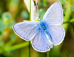 Butterfly (Pauline Brock) Tags: butterfly europeancommonblue bluebutterfly insect smallbutterfly blueinsect macro nature wildlife