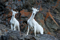 Dall Sheep Ewe & Lamb Checking Me Out (AlaskaFreezeFrame) Tags: dall dallsheep horns alaska alaskafreezeframe canon 70200mm outdoors nature wildlife mammals mountains fall climbing herbivores ewe lamb baby agile ewes