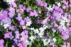 (sunil.koovakkat) Tags: purple mauve white flowers nature
