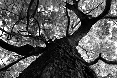 Old English (ArtofScholle) Tags: canon 70d 18135mm stm blackandwhite bw contrast light wood sign tree old english walnut tall magestic