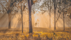 Winter's morning (jan_clewett) Tags: sunrise sunrays early morning forest eucalypts queensland fog thermals dew winter golden beautiful peaceful magic frosty cool