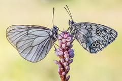 Early morning date (Bradiponi) Tags: macro macrofotografia insect insects insetto insetti naturalistica natura naturalistic nature couple coppia incontro appuntamento mattino aporiacrataegilinnaeus1758 melanargiarussiaelinnaeus1758 farfalla farfalle butterfly butterflies