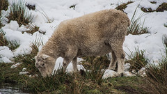 Feeding two? (NOL LUV DI) Tags: snow napier hawkesbay