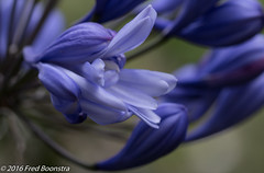 IMG_0438 (A.J. Boonstra) Tags: agapanthusflorepleno agapanthus flower garden usm ef100mmf28lmacroisusm canon70d