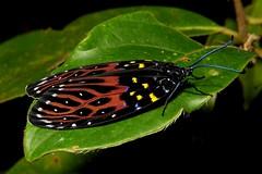 Chalcosiine Day-flying Moth (Amesia sanguiflua, Chalcosiinae, Zygaenidae) (John Horstman (itchydogimages, SINOBUG)) Tags: insect macro china yunnan itchydogimages sinobug moth lepidoptera chalcosiinae zygaenidae tweet topf25 explore topf50 fbm