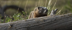 "Yellow-bellied Marmot • <a style=""font-size:0.8em;"" href=""http://www.flickr.com/photos/63501323@N07/28749628691/"" target=""_blank"">View on Flickr</a>"