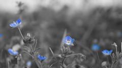 Crtamo silvestre (D_ibaceta) Tags: a6000 ilce sony chile natural libre naturaleza primavera flower flor almendro azul color selectivo