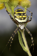 A Wasp Spider (Argiope bruennichi) (Nexus49) Tags: waspspider argiopebruennichi spider arachnid araneae macro canonmpe65 canon5dmkii canonmt24extwinflash