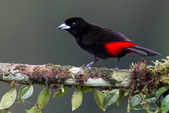 Passerini's Tanager-4660-2 (Ramphocelus passerinii) (dennis.zaebst) Tags: 1dmarkiv 500 centralamerica costarica passerinistanager tanager bird naturethroughthelens
