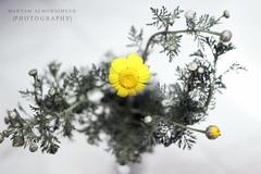 ~ (Maryam Almohaimeed |   ) Tags:       qassimweather qassim buraydah blackandwhite bw arab arabia buraydahyahooweather f14 flowers natural canon canonf14 canond550 gm photographer plant photography nice n flower outdoor
