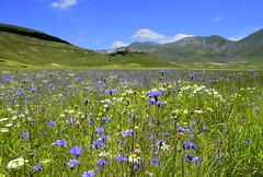 The cornflowers of Castelluccio (annalisabianchetti) Tags: cornflowers flowers paesaggio landscapes castellucciodinorcia umbria italy beauty field