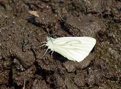 2016_07_0577 (petermit2) Tags: greenveinedwhitebutterfly greenveinedwhite butterfly centenaryriversidereserve rotherham southyorkshire yorkshirewildlifetrust wildlifetrust ywt