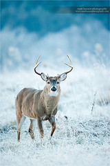 Winter Whitetail (www.matthansenphotography.com) Tags: winter white snow cold male nature animal walking mammal outdoors frost wildlife hunting antlers step editorial buck whitetaileddeer rut whitetaildeer whitetailbuck whitetailedbuck matthansen northamericanbiggame matthansenphotography