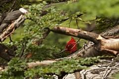 Magellanic Woodpecker (Campephilus magellanicus) IMG_0294 (pr.cuenod) Tags: park travel red patagonia male bird southamerica nature birds animals fauna wildanimal torresdelpaine patagonie parquenacionaltorresdelpaine americadelsur campephilusmagellanicus magellanicwoodpecker