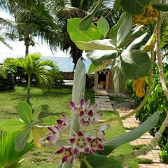 IMG_2479_fix (goatling) Tags: west flower floral island flora tropical tropic caribbean cayman carib caymanislands tropics grandcayman caribe indies westbay westindies britishwestindies 201411gcm gcm201411