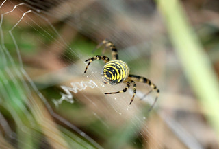 Wasp Spider. HBBBT! (Explored 280115)