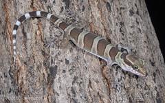 Inland Ring-tailed Gecko (Cyrtodactylus mcdonaldi) (Mattsummerville) Tags: gecko mountmolloy cyrtodactylusmcdonaldi inlandringtailedgecko