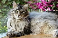 Floris (Cajaflez) Tags: portrait pet cute beautiful cat kat chat longhair mainecoon mooi katze portret gatto huisdier haustier kater floris lief pedigree leuk schön raskat ruby10