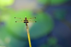 Yellow Striped Flutterer Dragonfly No.2 (ShotoPhoto) Tags: black yellow pond lily lotus dragonfly australia queensland fujifilm northern sanctuary striped palmcove xt1 flutterer xf50140mm