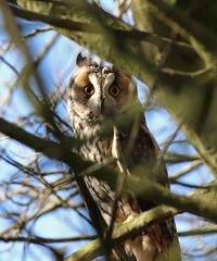 Long Eared Owl (arthurpolly) Tags: uk wild nature canon eos eyes woods wildlife elements owl avian 100400l flickrdiamond unforgettablepictures natureselegantshots 7dmk2