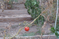 The last survivor (Barbara Best) Tags: chile nature last garden tomato cherry one tomate