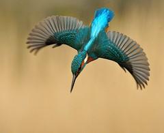 27th February 2015 Kingfisher (Fudgey2010) Tags: