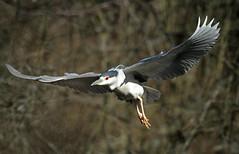Black Crowned Night Heron - 400b1c4 (Sue Coastal Observer) Tags: bird bc flight delta blackcrownednightheron reiflesancuary